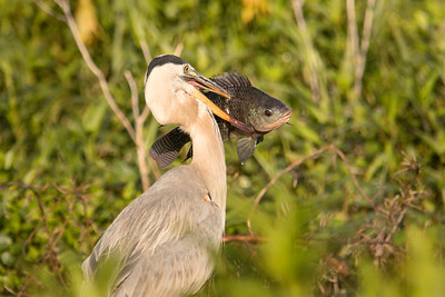 Great Blue Heron with Tilapia