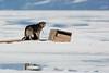 Husky feeding pups. John Chapman.