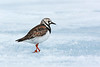 Ruddy Turnstone.