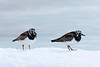 Pair of Ruddy Turnstones.