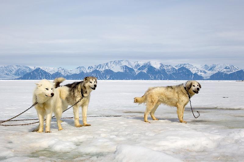 Husky Working Dogs. John Chapman.