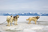 Husky Working Dogs. John Chapman.