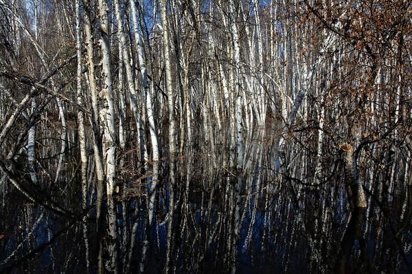 Reflected Birch