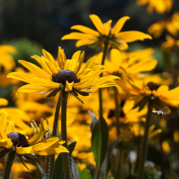 Buzzing by Black Eyed Susan