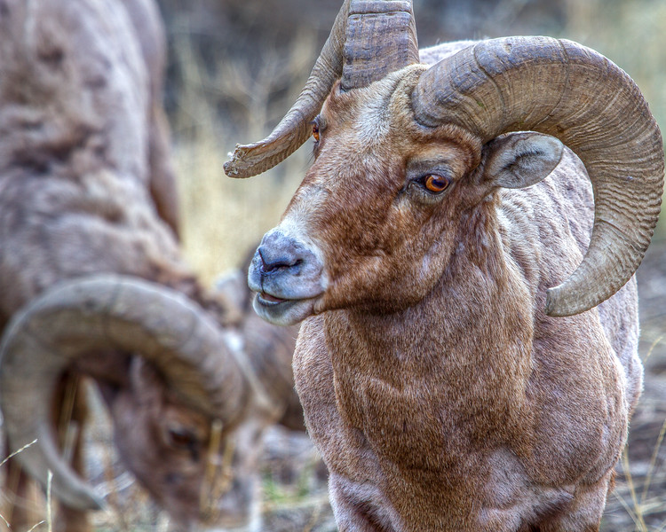 Big Horn Chagrin