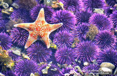 On A Bed Of Urchins ©  2010 Colleen M. Griffith. All Rights Reserved.  This material may not be published, broadcast, modified, or redistributed in any way without written agreement with the creator.  This image is registered with the US Copyright Office. www.colleenmgriffith.com www.facebook.com/colleen.griffith  Pacific Coast Tidepools
