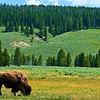 Buffalo, Entrance to Yellowstone Park, Wyoming