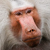 Japanese Snow Monkey, Hamburg Zoo, Hamburg Germany