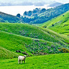 Lone sheep, Dunedin, New Zealand