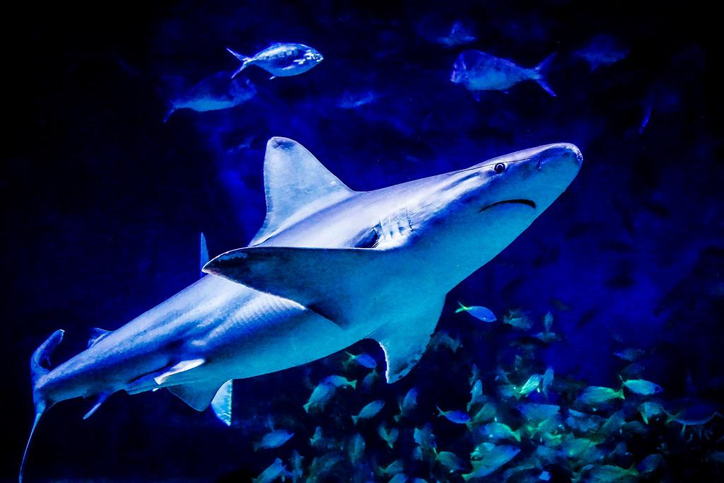 Shark, Melbourne Aquarium