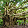 Banyan tree, Maui, Hawaii