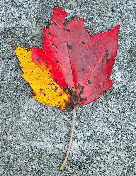 Yellow and Red Leaf, Davis, West Virginia