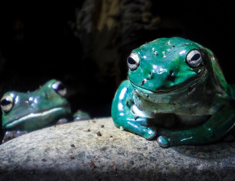 Frogs, Melbourne Aquarium, Melbourne, Australia