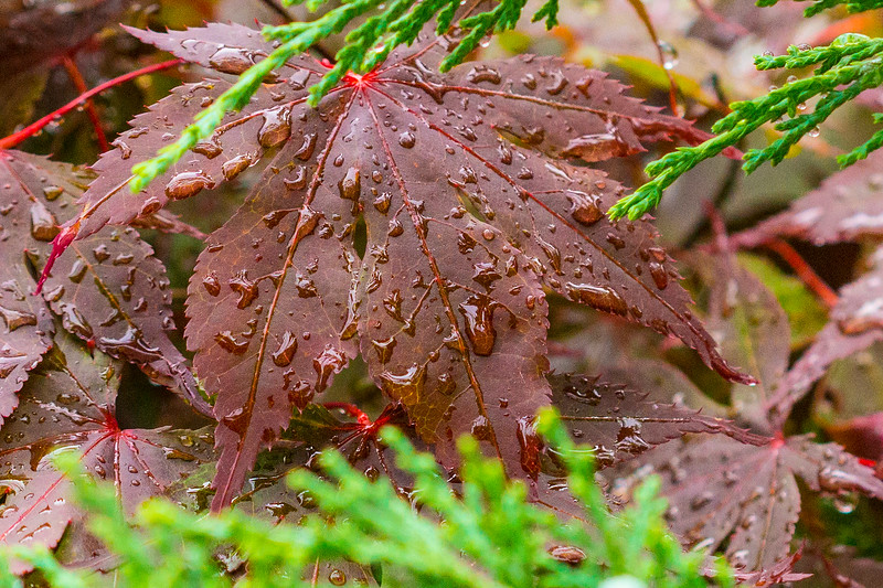 Red leaf with drops of water, Romeoville, Illinois