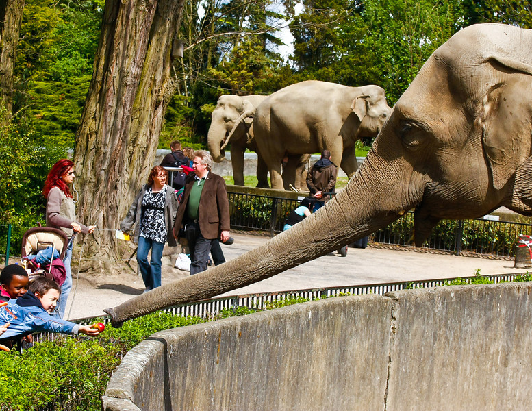 Boy feeding elephant an apple,  Hamburg Zoo, Germany