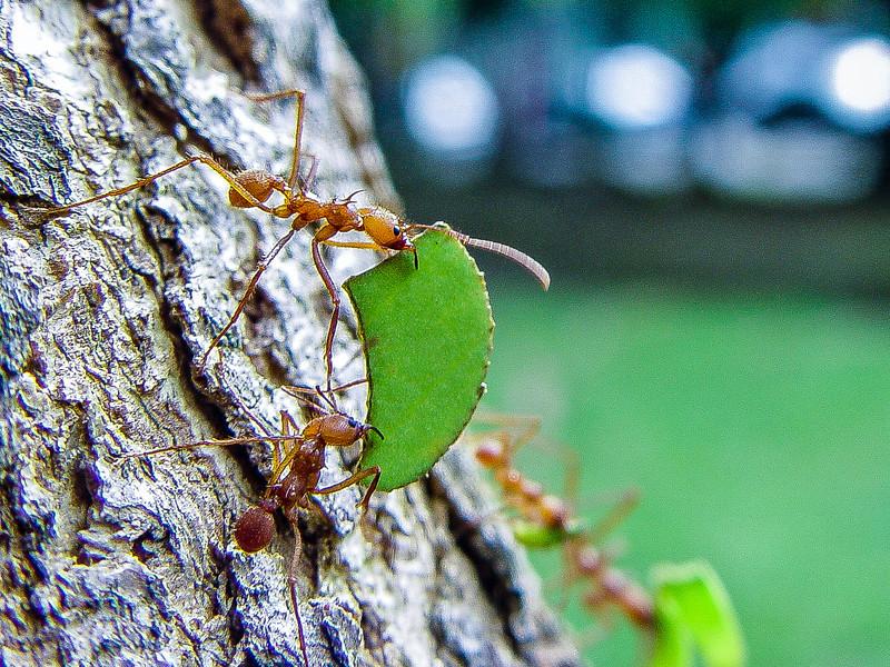 Ants hard at work, Puerto Limon, Costa Rica
