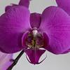 Single Purple Orchid Flower