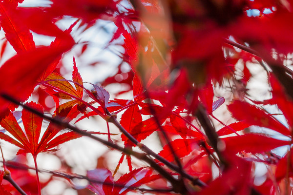 Red Leaves of a British Autumn