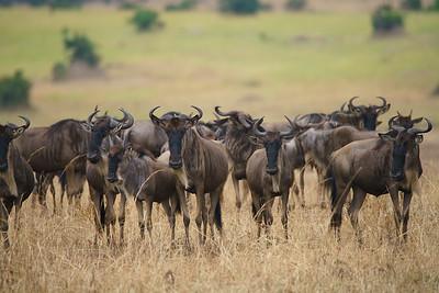 Wildebeests, Serengeti, Tanzania