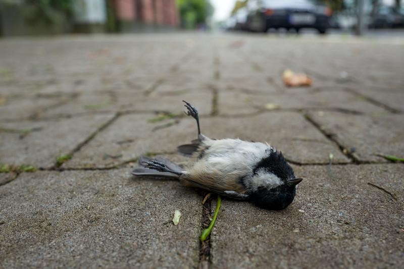 Dead bird on boardwalk