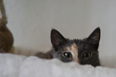 cat hiding behind blanket