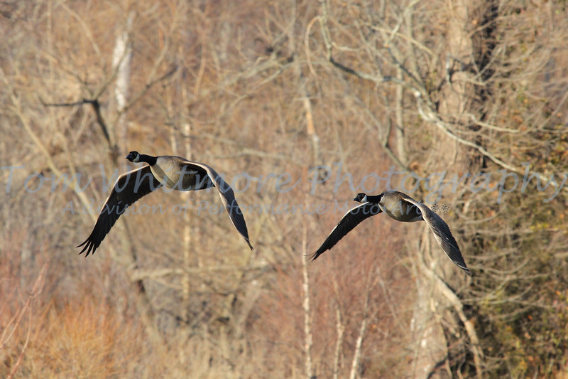 Geese over Henricus Historical Park