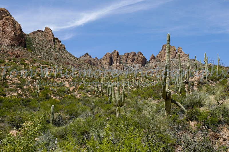 Saguaro Cactus in Arizona.
