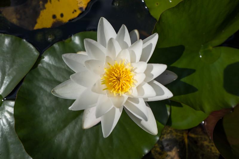 White Water Lily in Botanic Garden