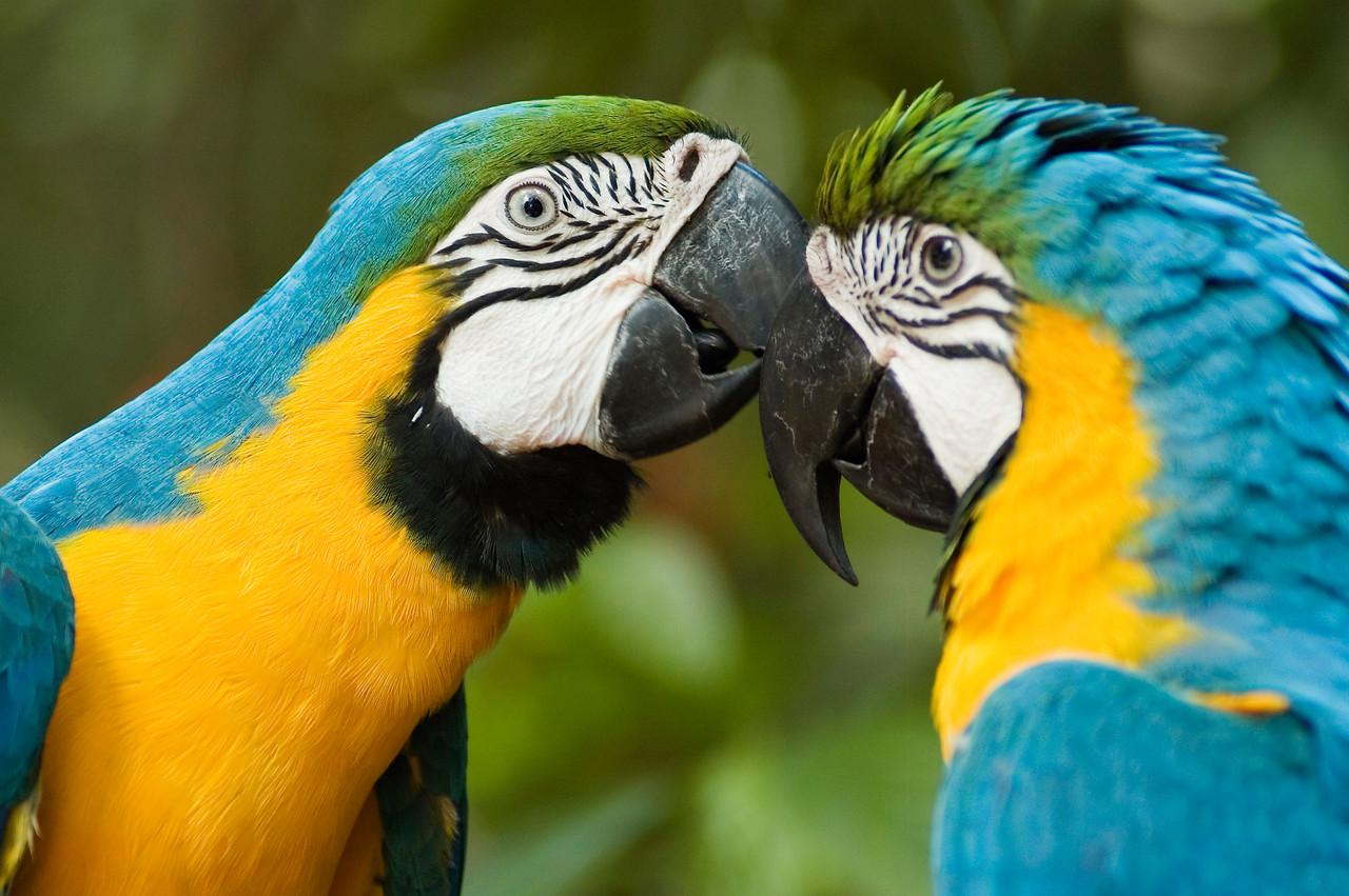 Macau Parrots Bonito Brazil.