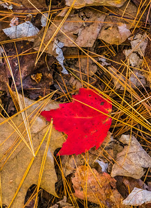 pine needles with red leaf