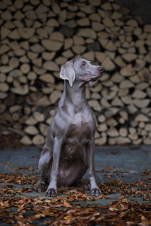weimaraner in log shed