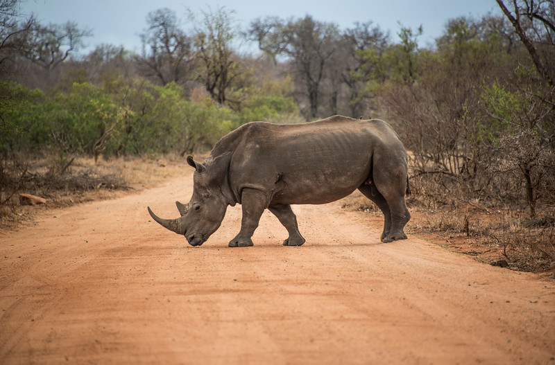 White Rhino Crossing a brown dirt  road, South Africa