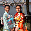 Japanese girls and Cherry Blossoms.