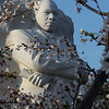 Martin Luther King Monument with Cherry Blossoms.