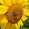 Sunflowers in Michigan