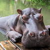 Up close and personal with a hippopotamus