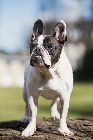 french bulldog on log