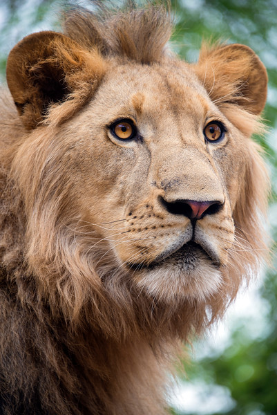 Close up portarit of a Young male lions face
