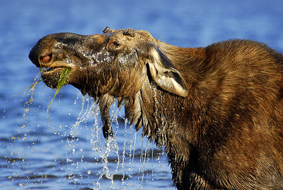 Moose, Munching