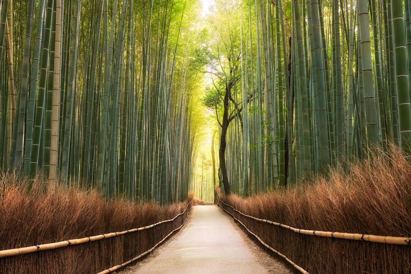 The Forest's Awakening    Kyoto Arashiyama Japan