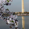 Cherry Blossoms at the Basin