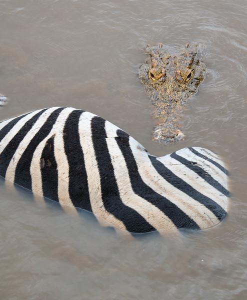 Crocodile killing a zebra, Kruger NP South Africa