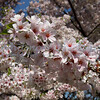Cherry Blossoms Washington DC.