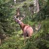 Cerf de Virginie, Finlande.<br /> <br /> White-tailed deer, Finland.