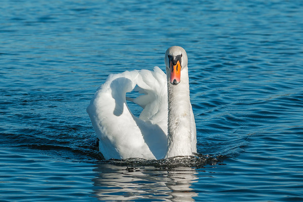Swanning Around