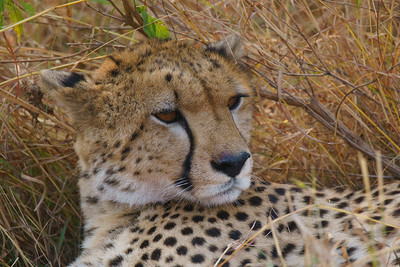 Cheetah, Serengeti National Park, Tanzania