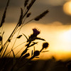 Sunset Swaying Grass