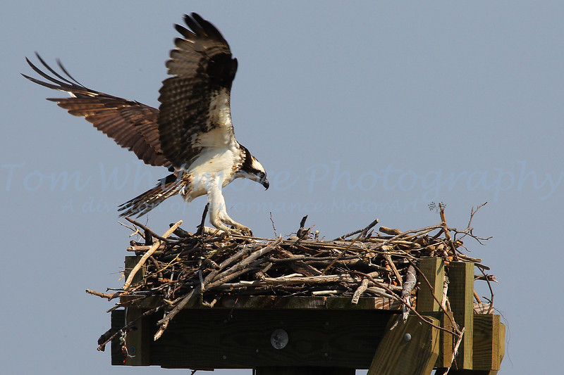Osprey on the Chesapeake.
