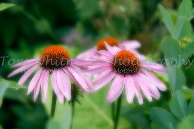 Flowers at Williamsburg, VA.