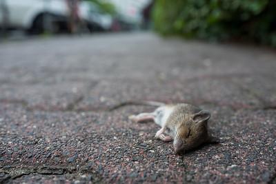 dead mouse on boardwalk